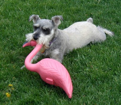 Pepper With His Pink Flamingo